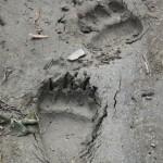 Tropy niedźwiedzia grizzly (fot.Sebastian R. Bielak)